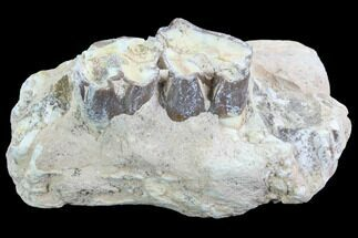 "Buy 3.1"" Hyracodon (Running Rhino) Jaw Section - South Dakota - #90280"