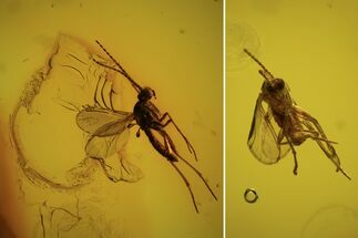 Buy Two Fossil Flies (Diptera) In Baltic Amber  - #90775