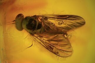 Detailed Fossil Fly (Rhagonidae) In Baltic Amber  For Sale, #90779