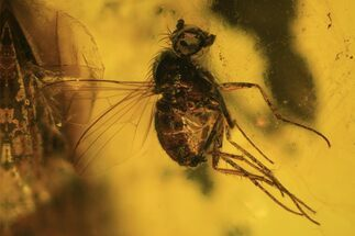 Detailed Fossil Fly (Diptera) In Baltic Amber  For Sale, #90788
