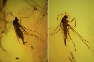 Two Fossil Flies (Diptera) In Baltic Amber  For Sale, #90794