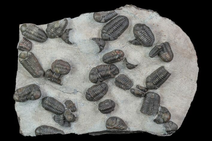 Austerops Trilobite Mortality Plate From Jorf - 18 Individuals!