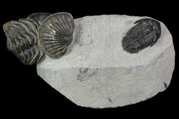 Trilobite Association (Kayserops, Phacopid, Metascutellum)