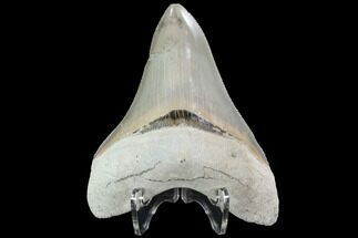 Carcharocles megalodon - Fossils For Sale - #90792