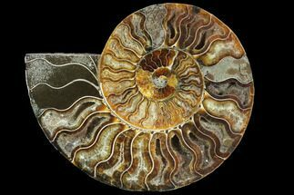 "6.1"" Agatized Ammonite Fossil (Half) - Agatized For Sale, #91178"