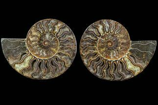 Cleoniceras - Fossils For Sale - #91155
