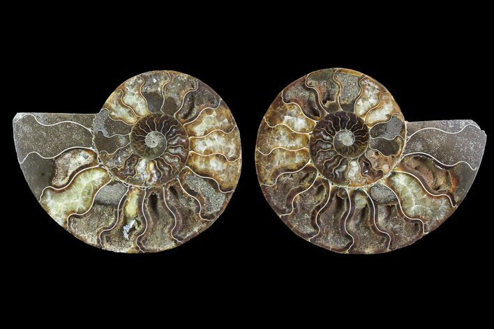 "5.2"" Cut & Polished Ammonite Fossil - Agatized"