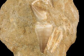 Buy Two Mosasaur (Prognathodon) Teeth In Rock - Nice Teeth - #91243