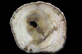 "7.8"" Petrified Palm Wood (Basralocus) Slab - Burma For Sale, #91538"