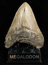 "Buy Monster 5.43"" Megalodon Shark Tooth - #6652"