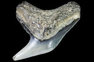 Galeocerdo - Fossils For Sale - #91839