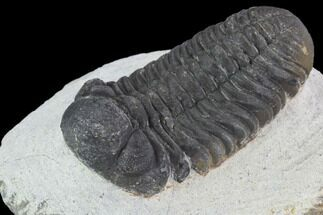 "Bargain, 2.2"" Barrandeops Trilobite - Visible Eye Facets For Sale, #91913"