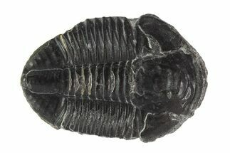 "Buy 1.48"" Asaphiscus Trilobite On Calcite Wafer - Utah - #92038"