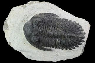 "Bargain, 2.6"" Hollardops Trilobite - Visible Eye Facets For Sale, #92087"