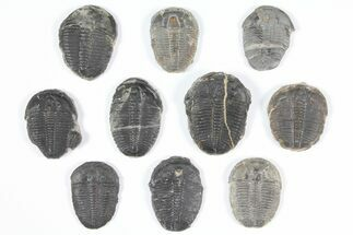 "Buy Lot: 1"" Elrathia Trilobites - 10 Pieces - #92071"