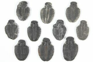 Elrathia kingii - Fossils For Sale - #92100