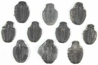 Elrathia kingii - Fossils For Sale - #92106