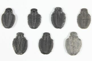 "Buy Wholesale Lot: 1 1/4"" Elrathia Trilobite Molt Fossils - 7 Pieces - #92140"