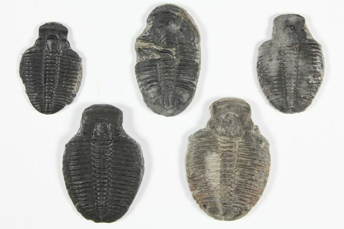 "Wholesale Lot: 1 1/2"" Elrathia Trilobite Molt Fossils - 5 Pieces"