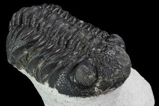 "Buy Bargain, 2.3"" Barrandeops Trilobite - Visible Eye Facets - #92329"