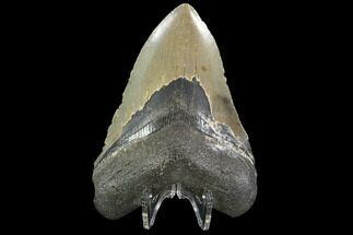 "Buy 4.56"" Fossil Megalodon Tooth - North Carolina - #92437"
