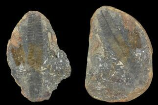 "Buy 3.4"" Pecopteris Fern Fossil (Pos/Neg) - Mazon Creek - #92272"