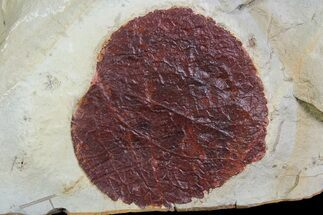 "Buy 1.7"" Detailed Fossil Leaf (Davidia) - Montana - #92593"
