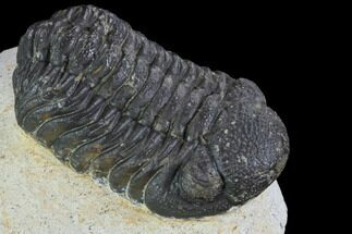 "Buy Bargain, 2.3"" Barrandeops Trilobite - Visible Eye Facets - #92194"