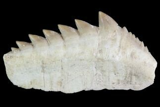 "Buy 2"" Fossil Cow Shark (Hexanchus) Tooth - Morocco - #92623"