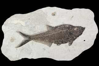 "Buy Large, 15.5"" Diplomystus Fish Fossil - Great Wall Display - #92677"