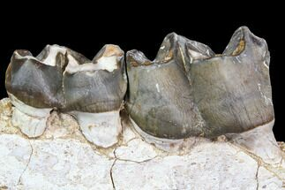 "5.1"" Juvenile Titanothere (Megacerops) Jaw Section - South Dakota For Sale, #92705"