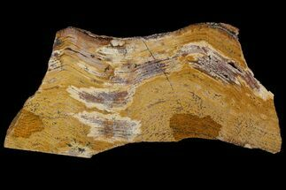 "8.9"" Strelley Pool Stromatolite - 3.43 Billion Years Old For Sale, #92804"