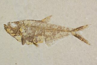 "Detailed, 6.2"" Diplomystus Fossil Fish - Wyoming For Sale, #92900"