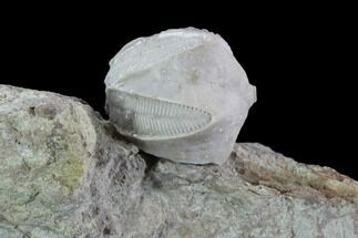 ".5"" Blastoid (Pentremites) Fossil - Illinois For Sale, #92213"