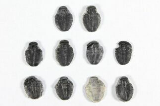 "Buy Wholesale Lot: 1/2"" Elrathia Trilobite Molt Fossils - 10 Pieces - #91999"