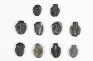 "Buy Wholesale Lot: 1/2"" Elrathia Trilobite Molt Fossils - 10 Pieces - #92002"