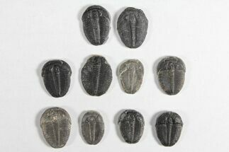 Elrathia kingii  - Fossils For Sale - #92028