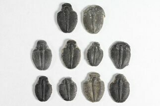 Elrathia kingii - Fossils For Sale - #92043