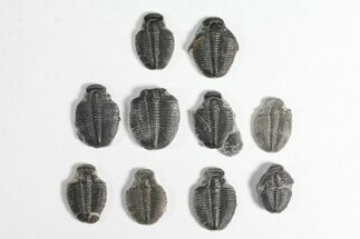 Elrathia kingii - Fossils For Sale - #92046