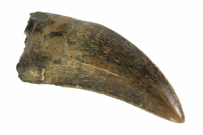 "Serrated, 1.55"" Tyrannosaur Tooth - Judith River Formation, Montana"