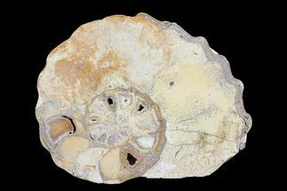 Calycoceras tarrantense - Fossils For Sale - #93549