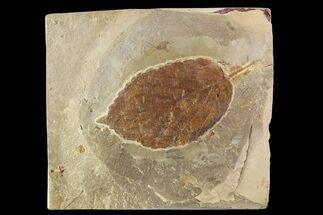 "2.7"" Fossil Leaf (Beringiaphyllum) - Montana For Sale, #93671"