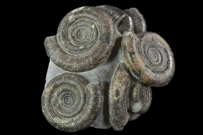 "5.1"" Dactylioceras Ammonite Cluster - Rare Occurrence"