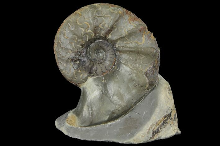 "Unusual, 3.5"" Triassic Ammonite (Ceratites) Fossil - Germany"