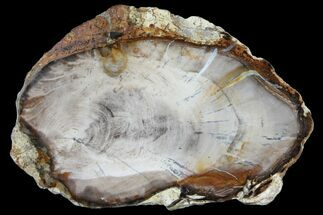"5.7"" Petrified Wood (Bald Cypress) Slab - Saddle Mountain, WA For Sale, #94034"