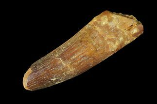 "1.81"" Real Spinosaurus Tooth - Feeding Worn Tip For Sale, #94154"