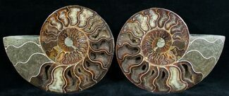Cleoniceras - Fossils For Sale - #6876