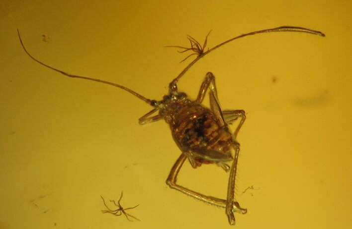 Fossil Bush Cricket (Orthoptera) In Baltic Amber - Rare!