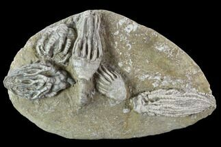 "Buy 4.9"" Crinoid Plate With Four Species - Crawfordsville - #94804"