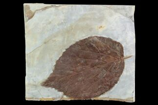 "Buy 4.3"" Detailed Fossil Leaf (Davidia) - Glendive, Montana - #95464"